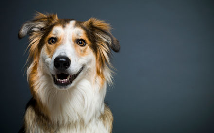 Cash - Collie Mix