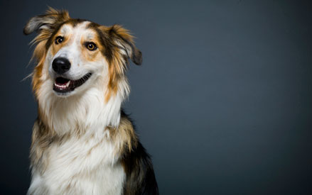 Collie Mixed Breed - Cash
