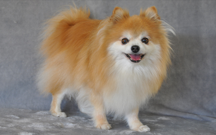 Chico the Pomeranian