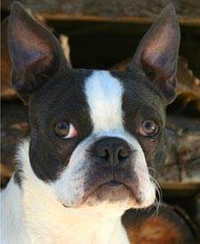 Headshot of Chum the Boston Terrier