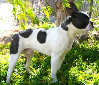 Profile of Boston Terrier, Chum