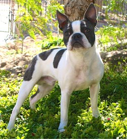 Chum - Boston Terrier