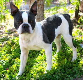 Boston Terrier - Chum