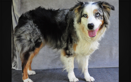 Whinnie Australian Shepherd Dog