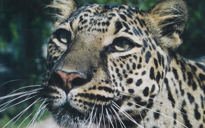 Sheena Spotted Leopard