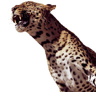 African Spotted Leopard snarling