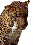 Spotted leopard headshot