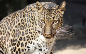 Sheena - Spotted Leopard