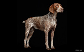 Purina Shoot with German Shorthair Pointer