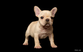 Purina shoot with French Bulldog puppy