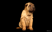 Purina Shoot with Sharpei