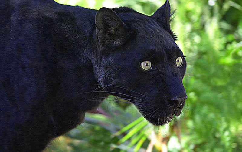 Gallery For ... Images Of Panthers